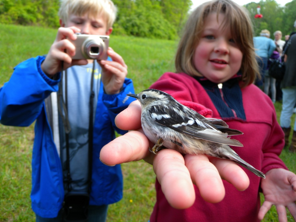 Black-and-white Warbler being released by a child.  Photo by Blake Goll