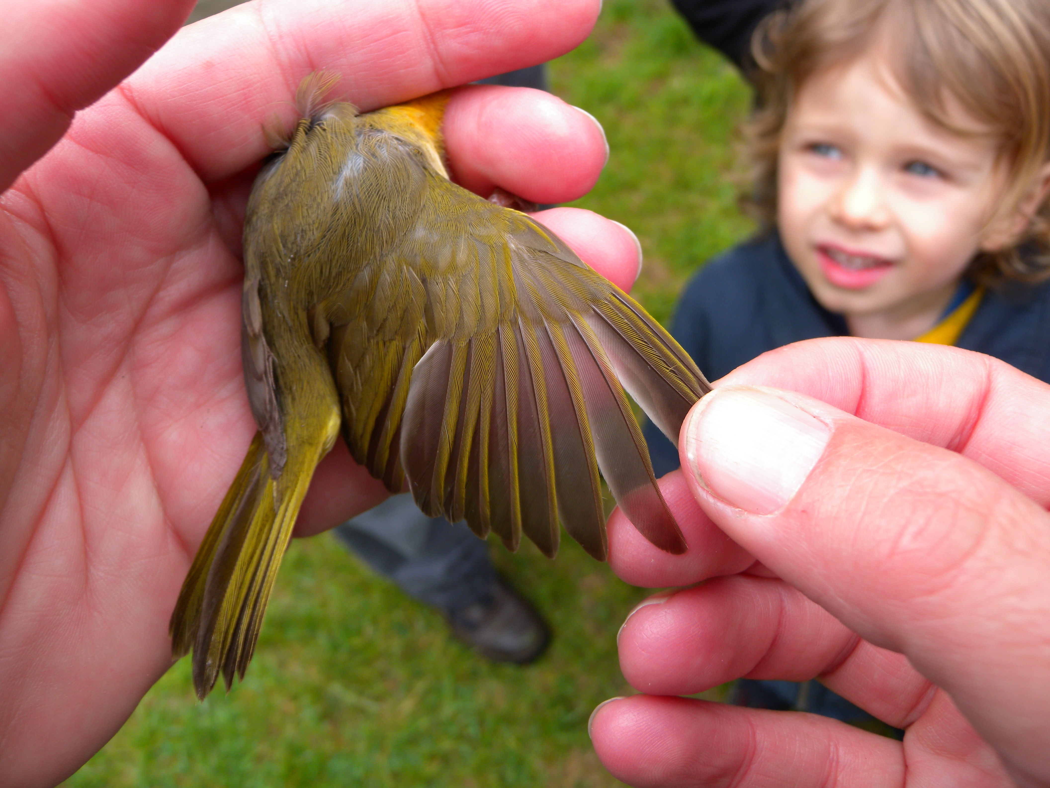 Ageing a Common Yellowthroat by primary covert feathers.  Photo by Blake Goll.