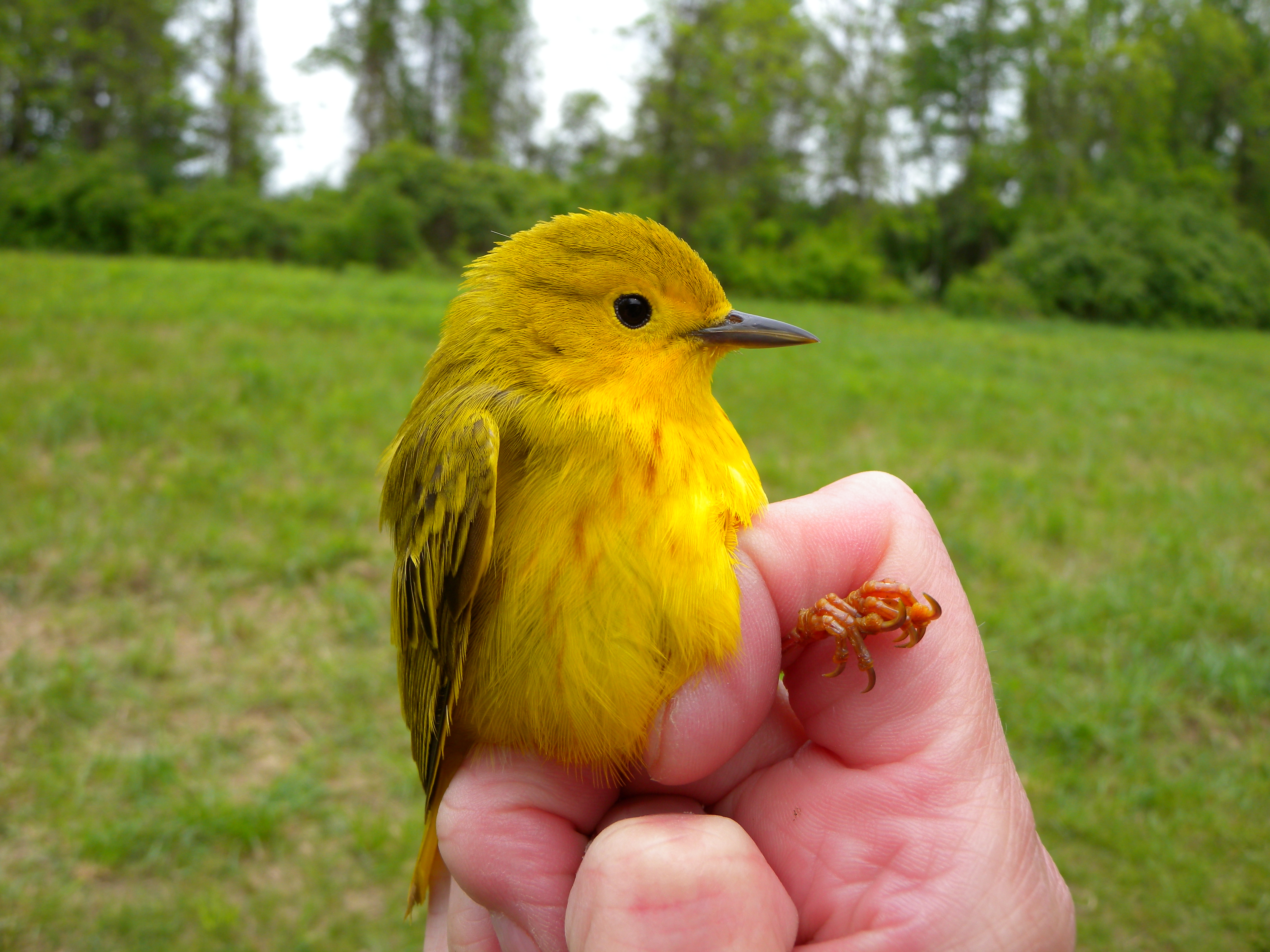 Female Yellow Warbler.  Photo by Blake Goll