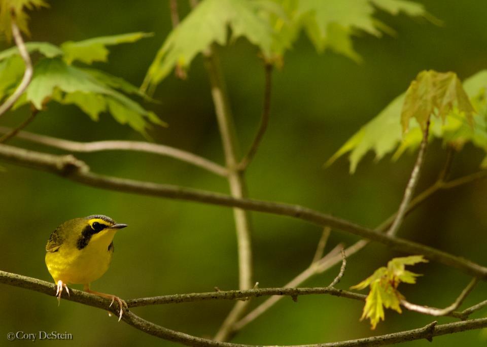 Kentucky Warbler by Cory DeStein