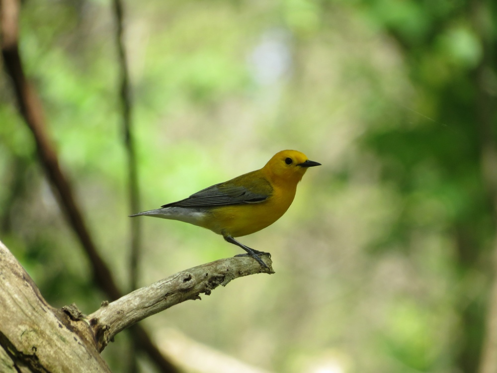 Prothonotary Warbler.  Photo by Mike Rosengarten.