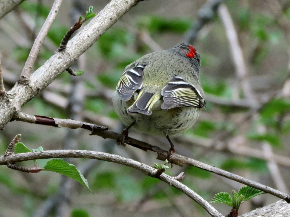 Ruby-crowned Kinglet.  Photo by Mike Rosengarten.
