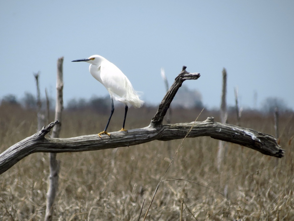 Snowy Egret.  Photo by Mike Rosengarten.