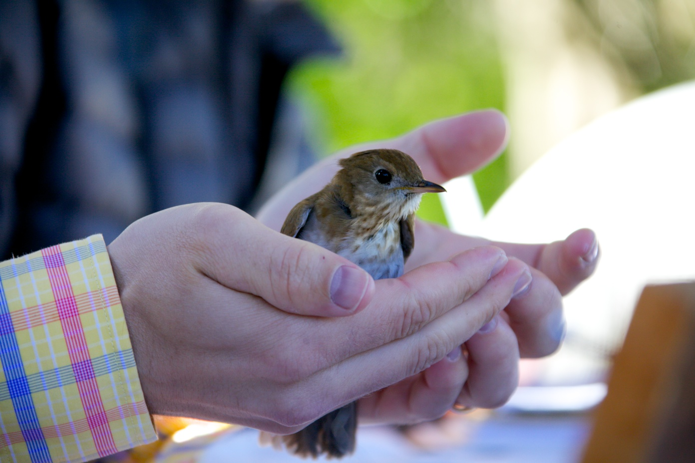 Veery being released.  Photo by Nat Hamilton.