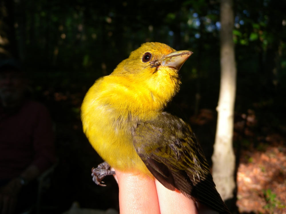 Adult female Scarlet Tanager.  Photo by Blake Goll