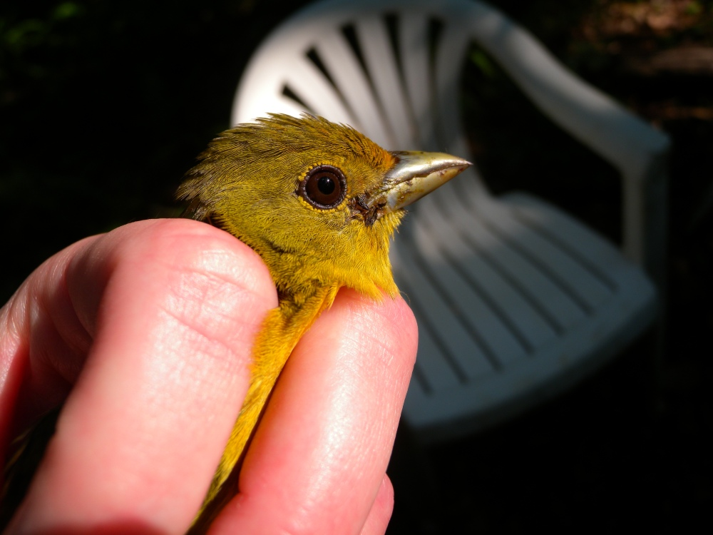 Adult female Scarlet Tanager with remains of last meal on bill!  Photo by Blake Goll.