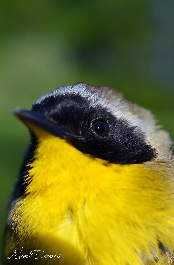 Common Yellowthroat.  Photo by Mimi Davis