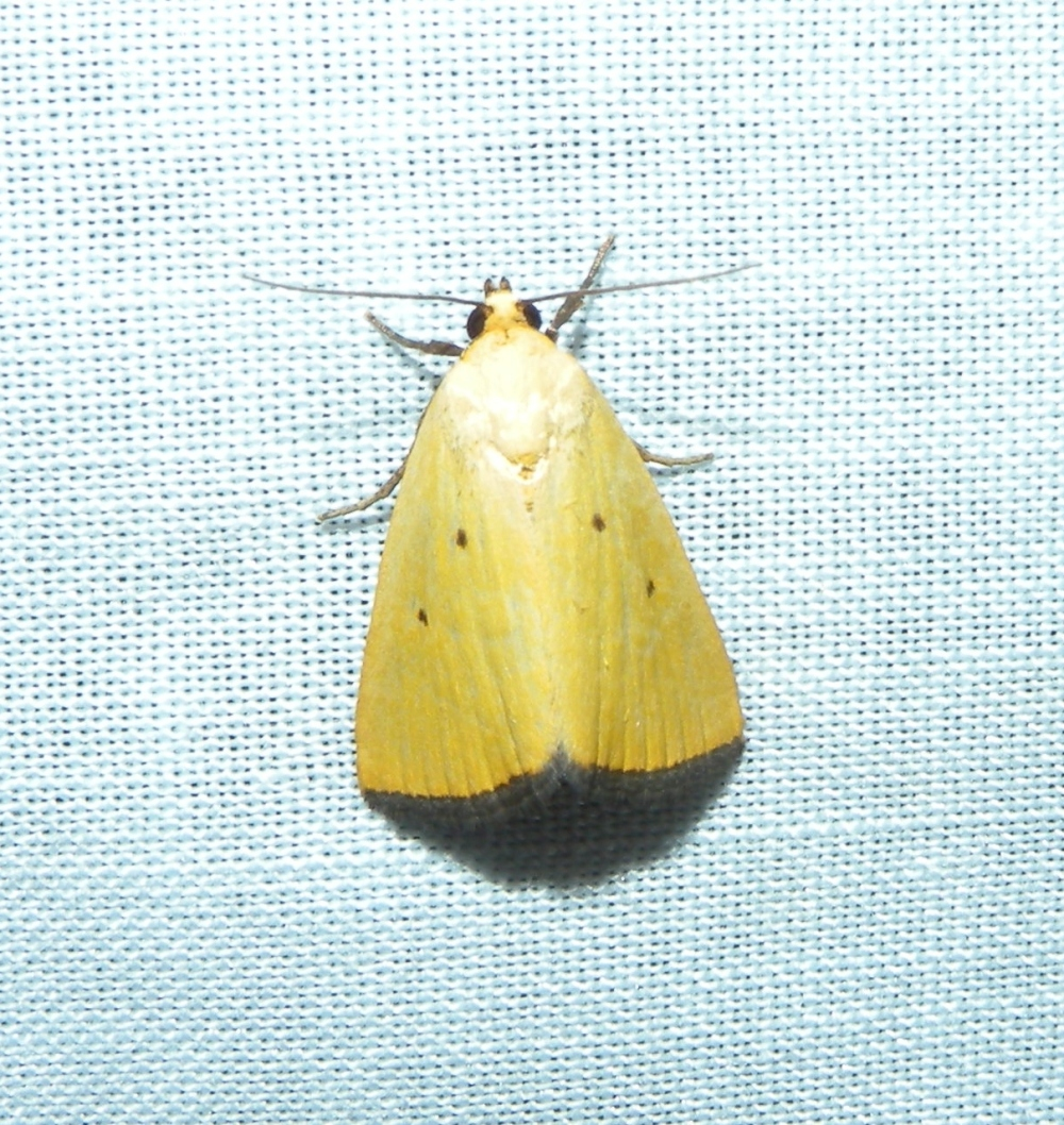 Black-bordered Lemon.  Photo by Blake Goll