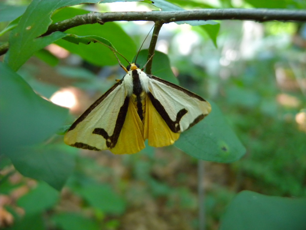 Clymene Moth we found in Rushton woods during MAPS banding one morning.  Photo by Blake Goll.
