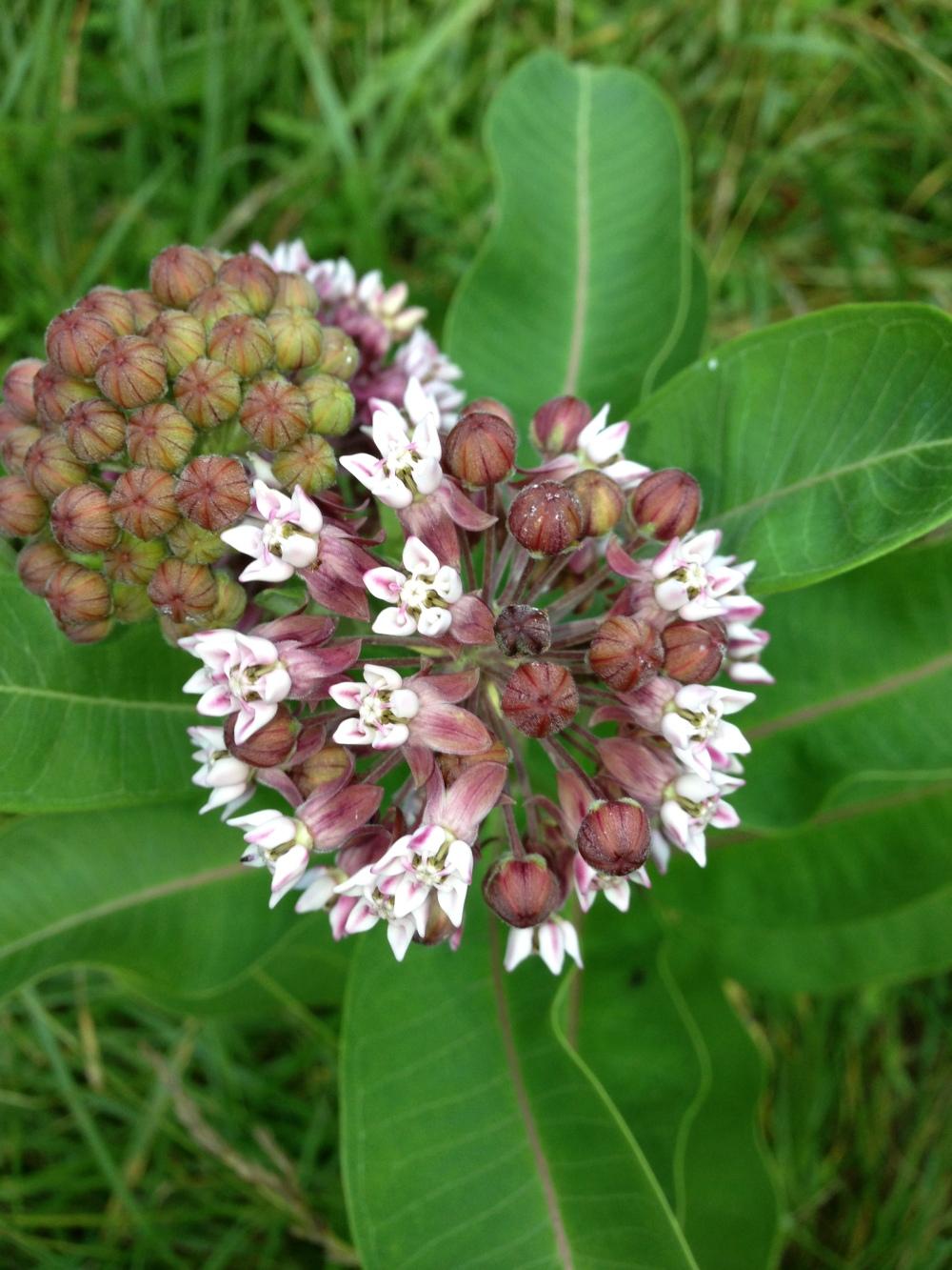 Common milkweed.  Photo by Blake Goll