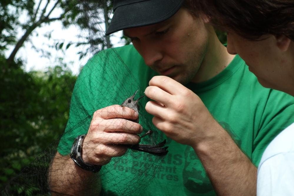 Volunteer extracting Gray Catbird from mistnet.  Photo by Jodi Spragins.