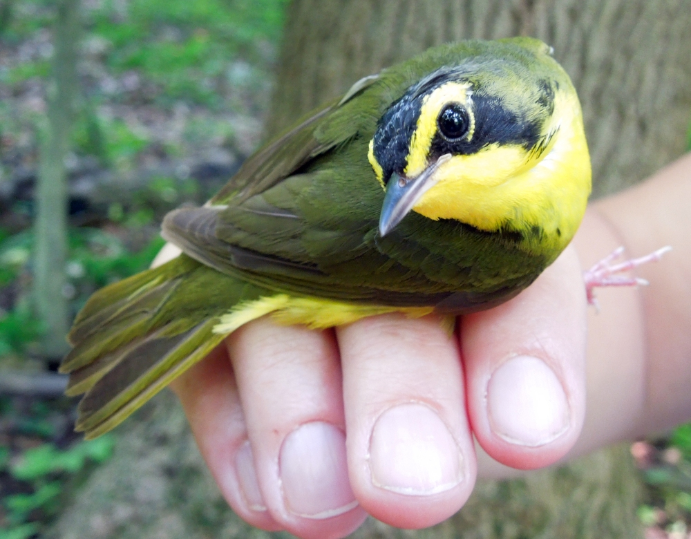 Kentucky Warbler banded at Rushton June 2012 .  Photo by Erika Arnold.