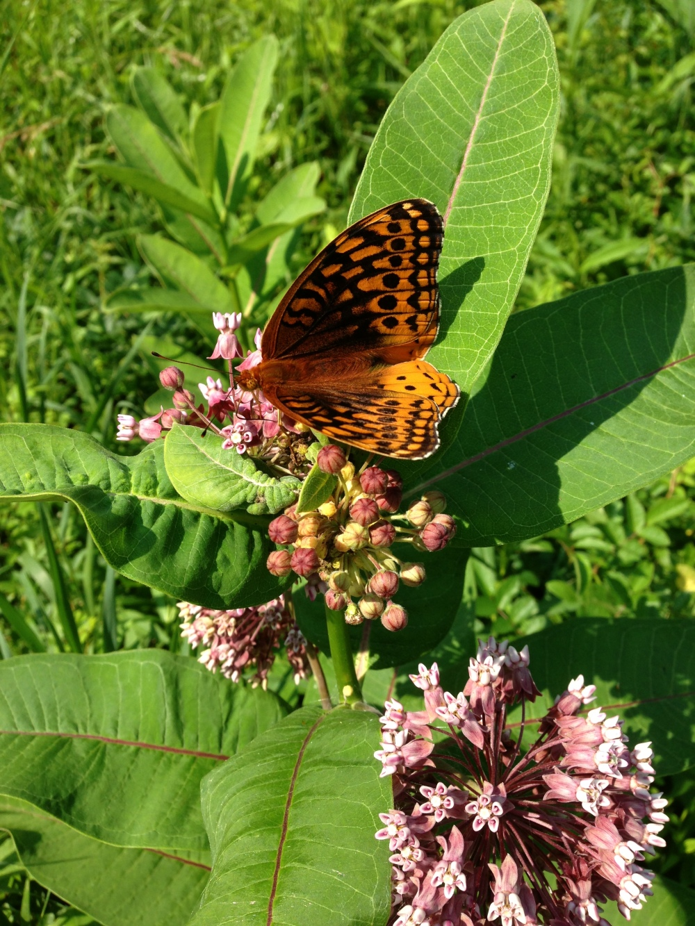 Great Spangled Fritillary on Common milkweed at Rushton.  Photo by Blake Goll