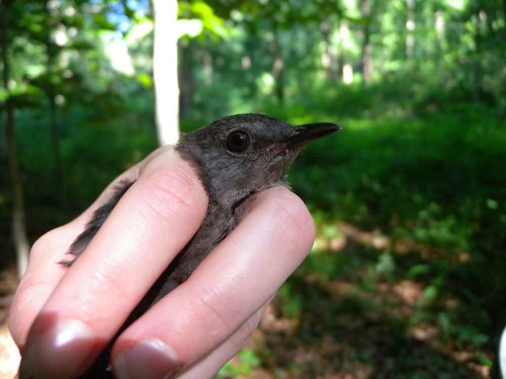 Hatch Year Gray Catbird.  Photo by Blake Goll