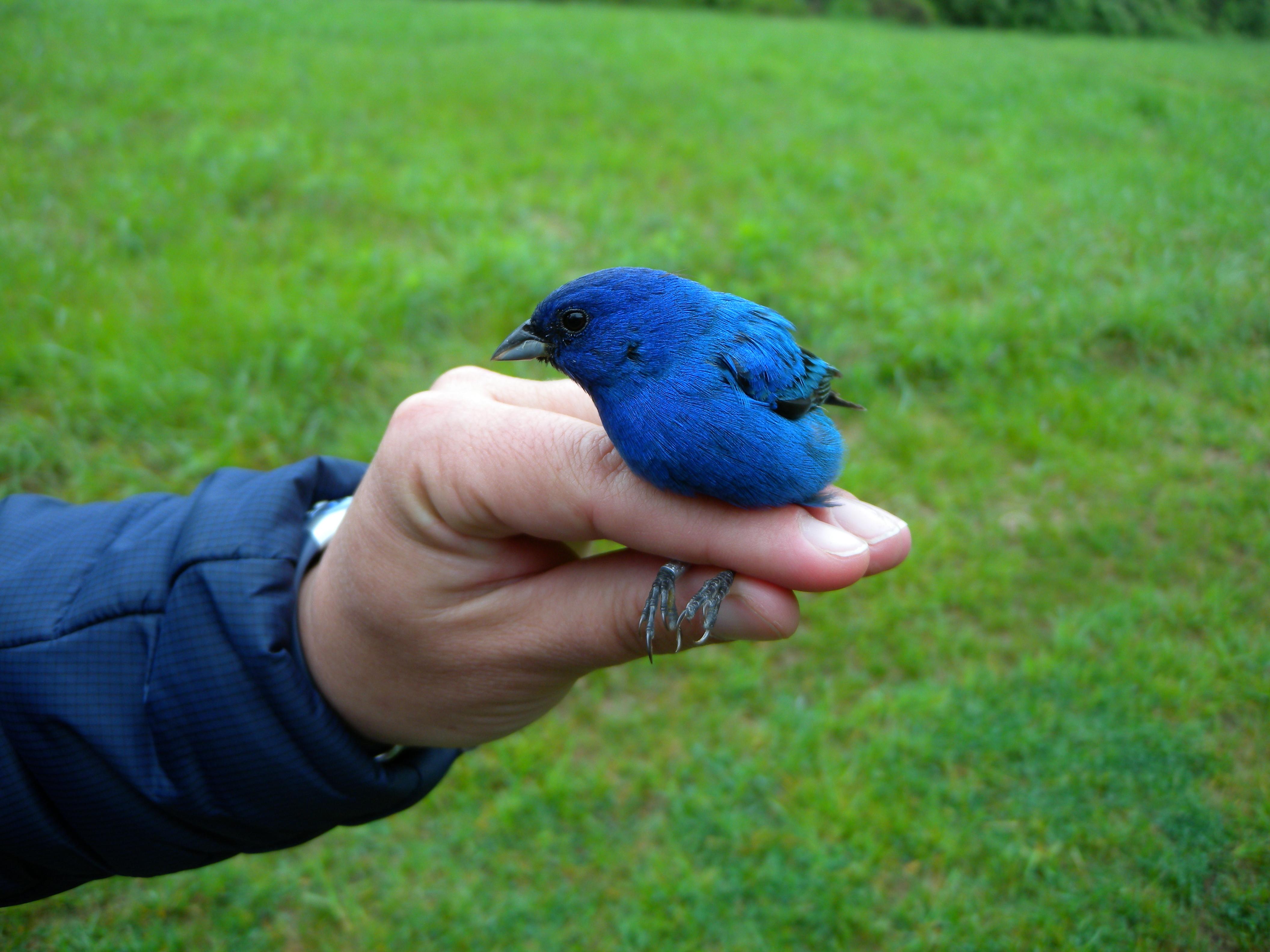 Build Indigo Bunting Bird House Plans Diy Pdf Free Kitchen