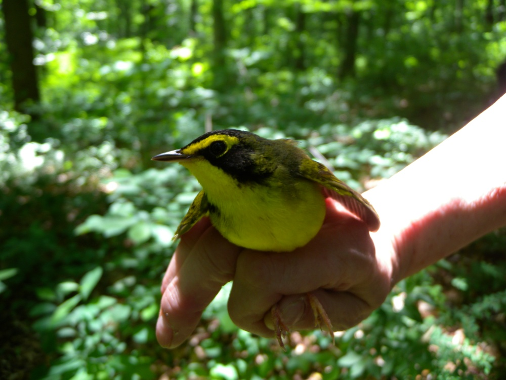 Rushton's male Kentucky Warbler.  Photo by Blake Goll