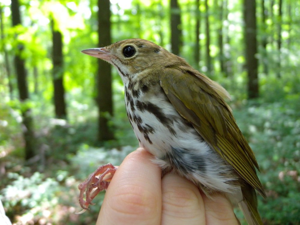 Ovenbird.  Photo by Blake Goll