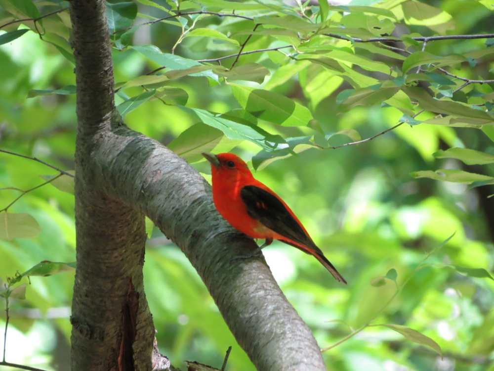 Male Scarlet Tanager.  Photo by Mike Rosengarten