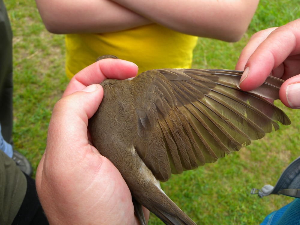 Ageing a Swainson's Thrush. Second year by the buff tips on its outer greater coverts.  Photo by Blake Goll.