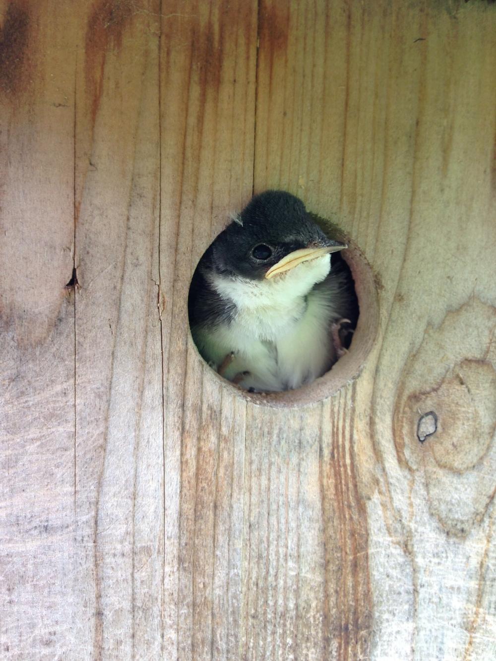 Tree swallow chick.  Photo by Blake Goll