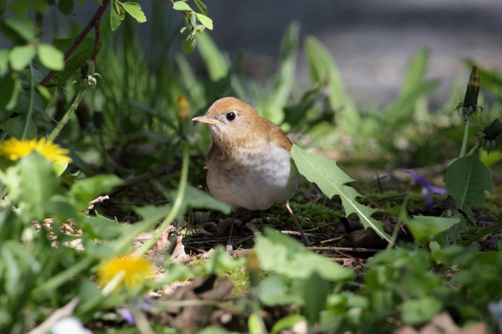 Veery.  Photo by Dustin Welch.