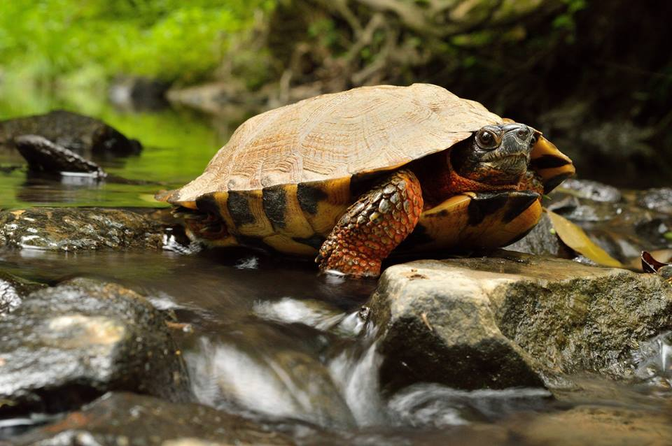 Wood Turtle, Lebanon County, by Chad Propst