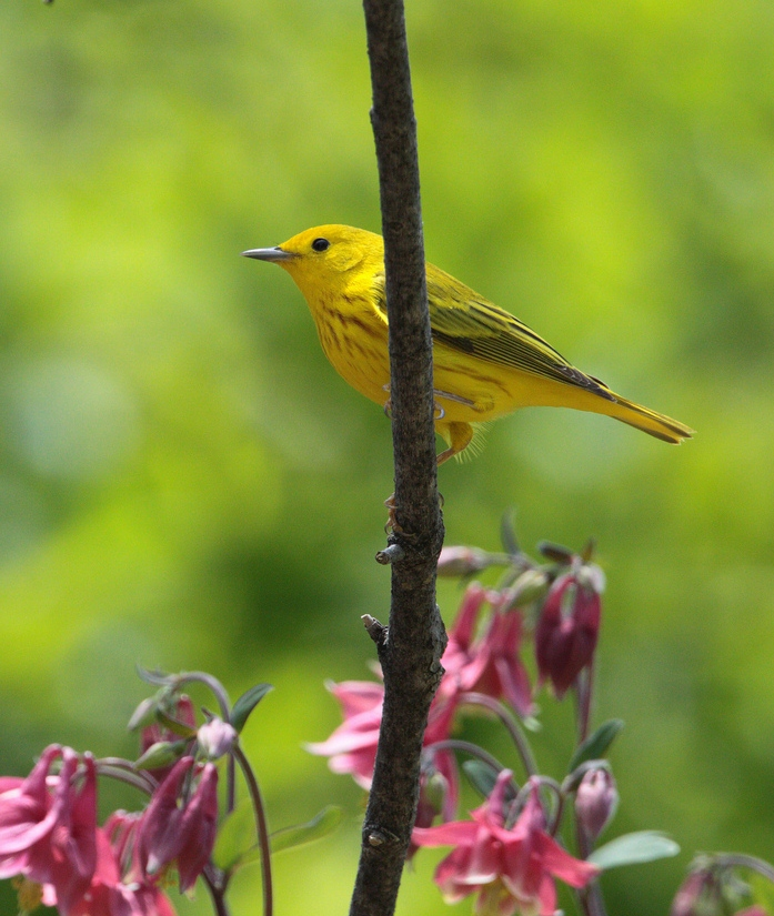 Yellow Warbler with Columbine.  Photo by Dustin Welch.