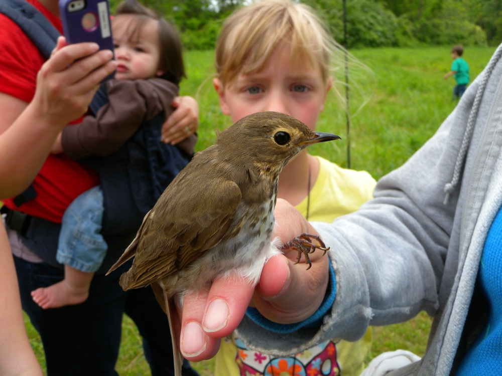 Young Birder viewing Swainson's Thrush before release.  Photo by Blake Goll.