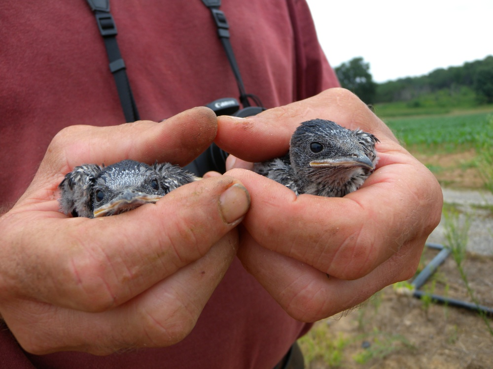 Purple Martin nestlings.  Photo by Blake Goll