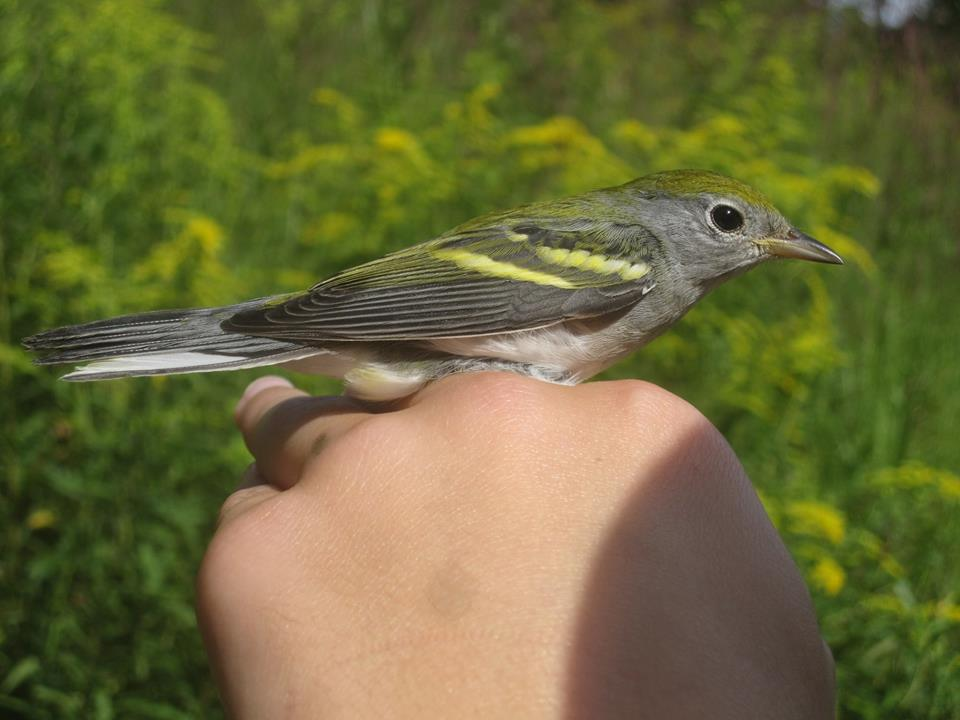 Young Chestnut-sided Warbler. Photo by Jesse Estlow