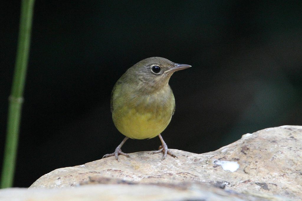 Connecticut Warbler.  Photo by Dustin Welch.