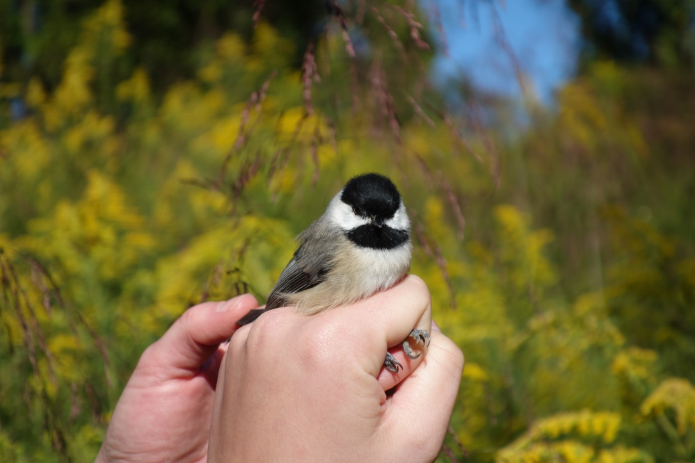 Carolina Chickadee banded at Rushton this September.  Photo by Jodi Spragins.