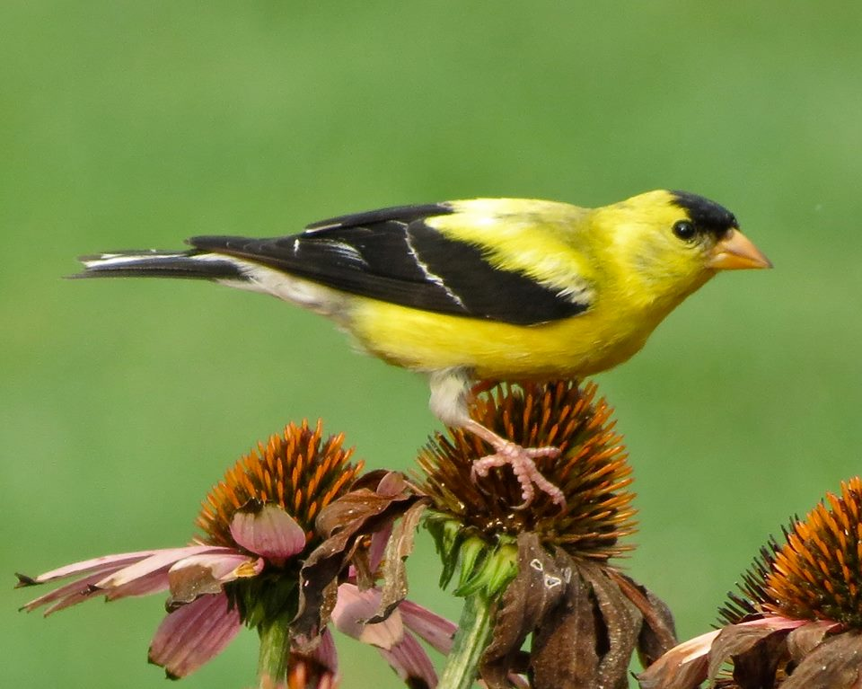 Goldfinch on echinacea at Penn State Arboretum's pollinator garden.  Photo by Anita Colyer Graham