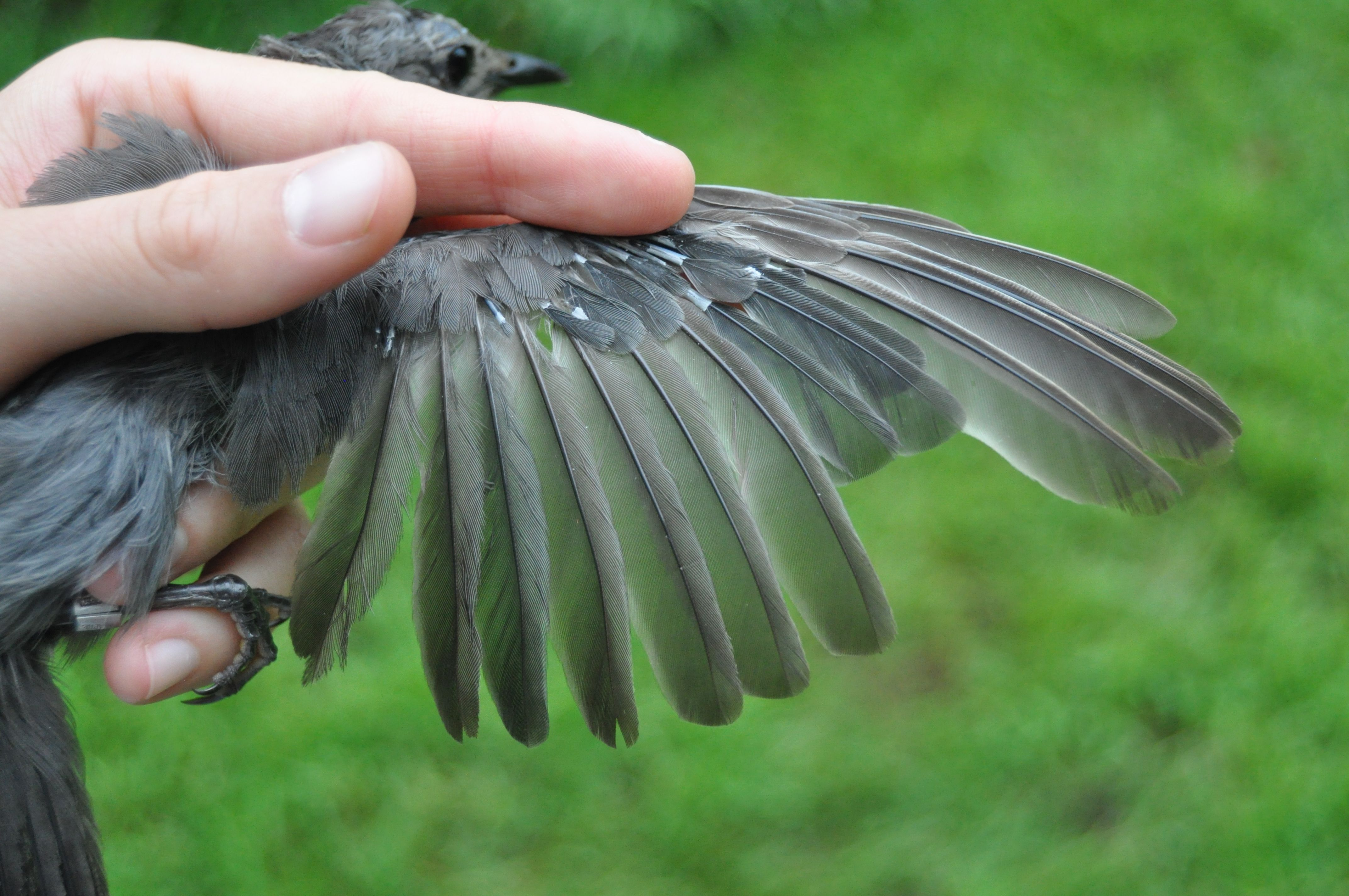 A young Gray Catbird growing in new flight feathers and coverts before beginning its journey south.  Photo by Bracken Brown