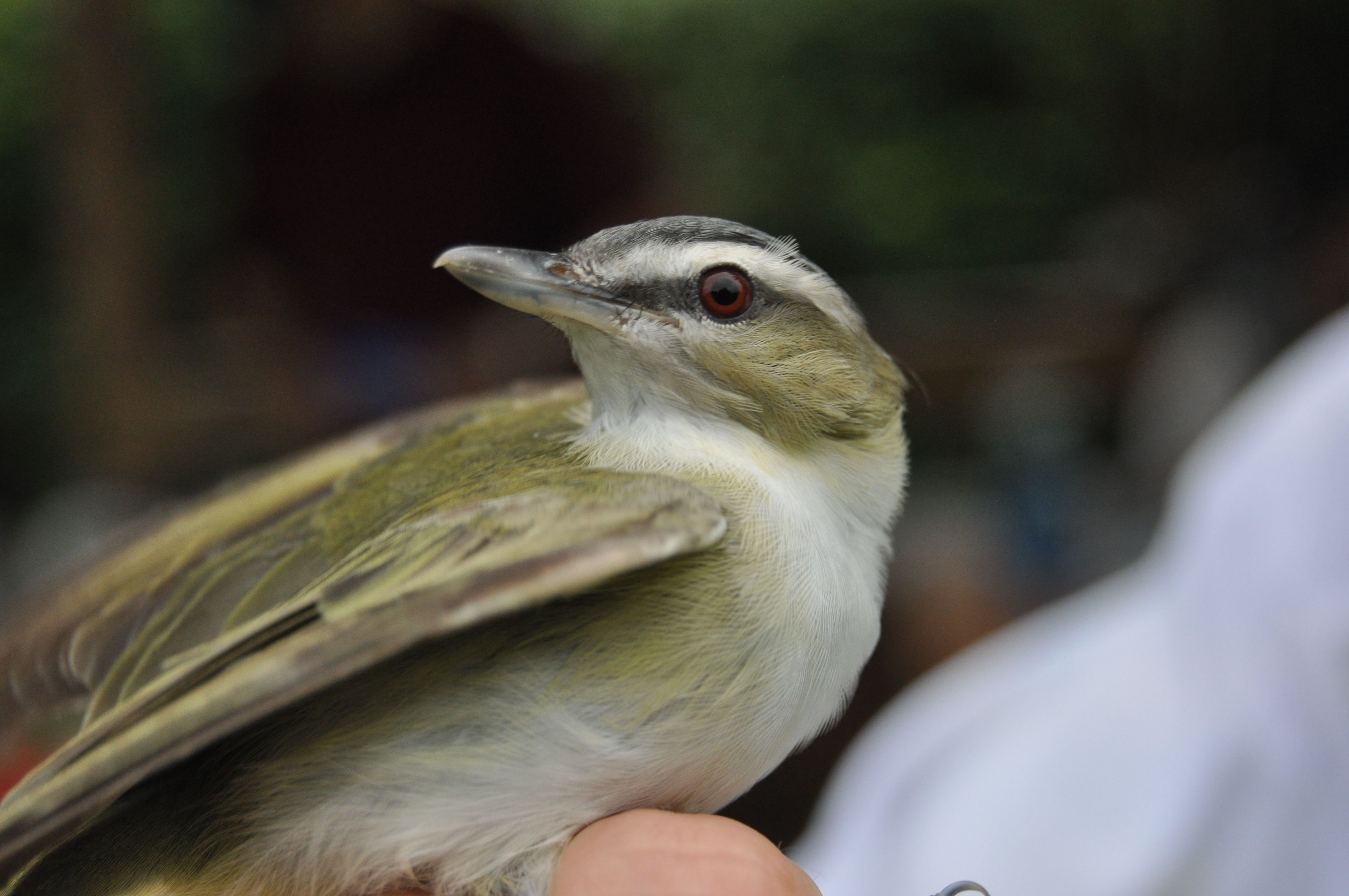 Red -eyed Vireo.  Photo by Bracken Brown