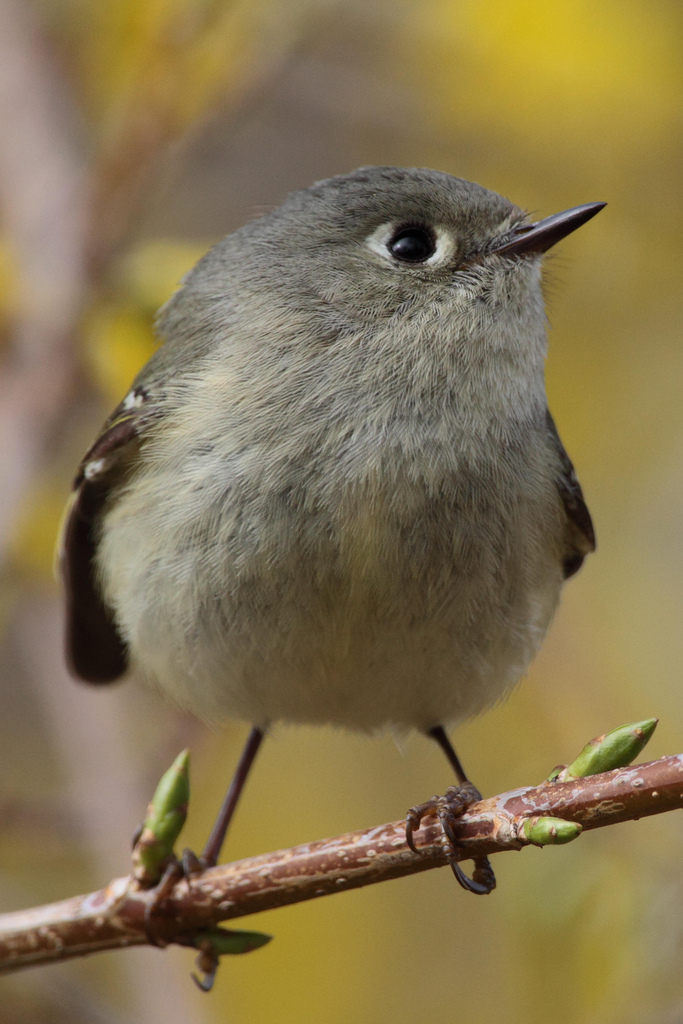 Ruby-crowned Kinglet.  Photo by Dustin Welch.