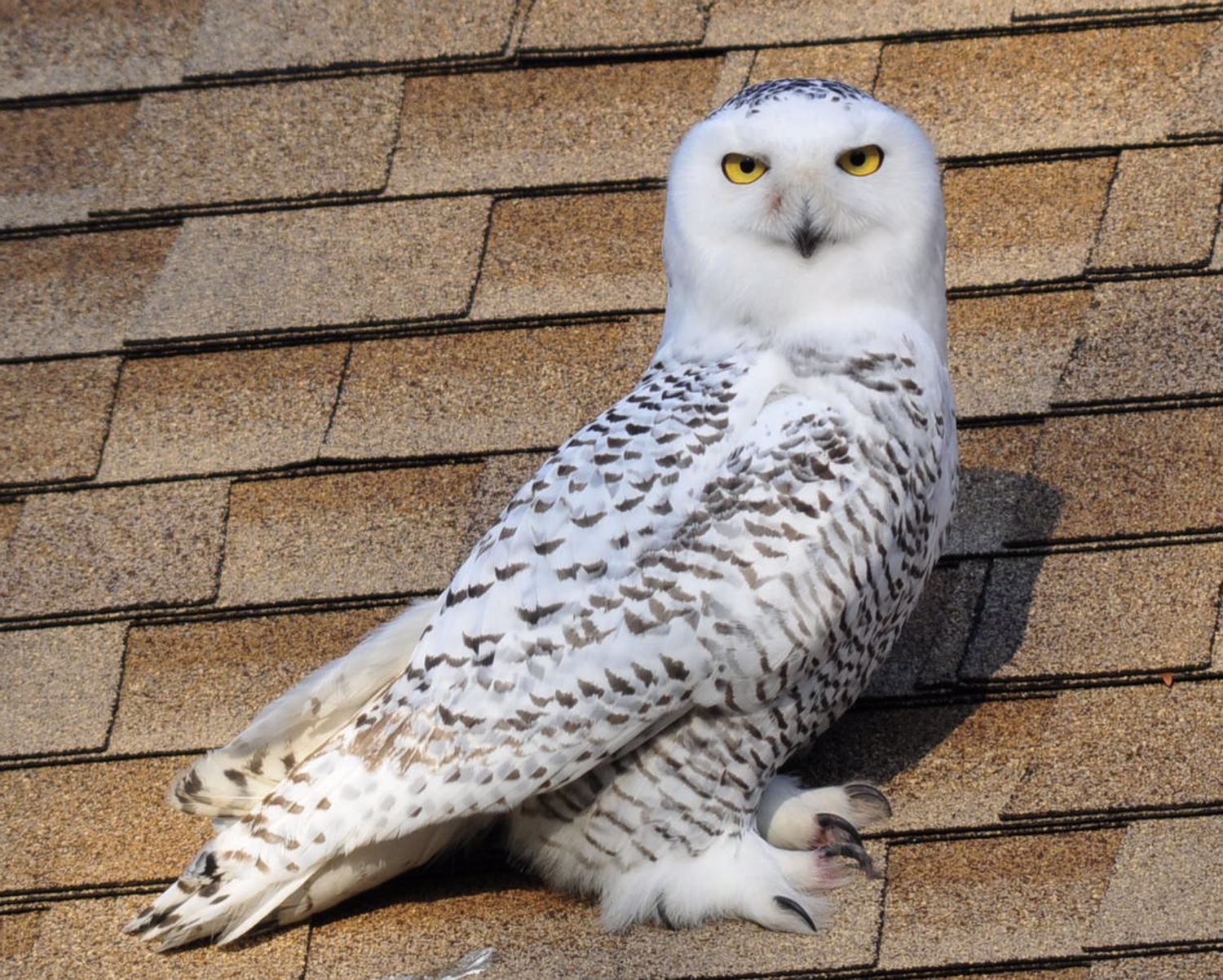Snowy Owl photographed by Dave Hucker 12-4-2013 on Whitehorse Rd., Malvern PA.