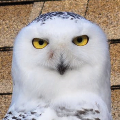 Snowy Owl photographed by Dave Hucker 12-4-2013 on Whitehorse Rd.