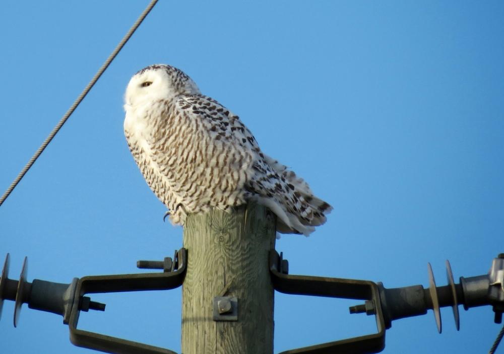 Snowy Owl.  Photo by Mike Rosengarten.