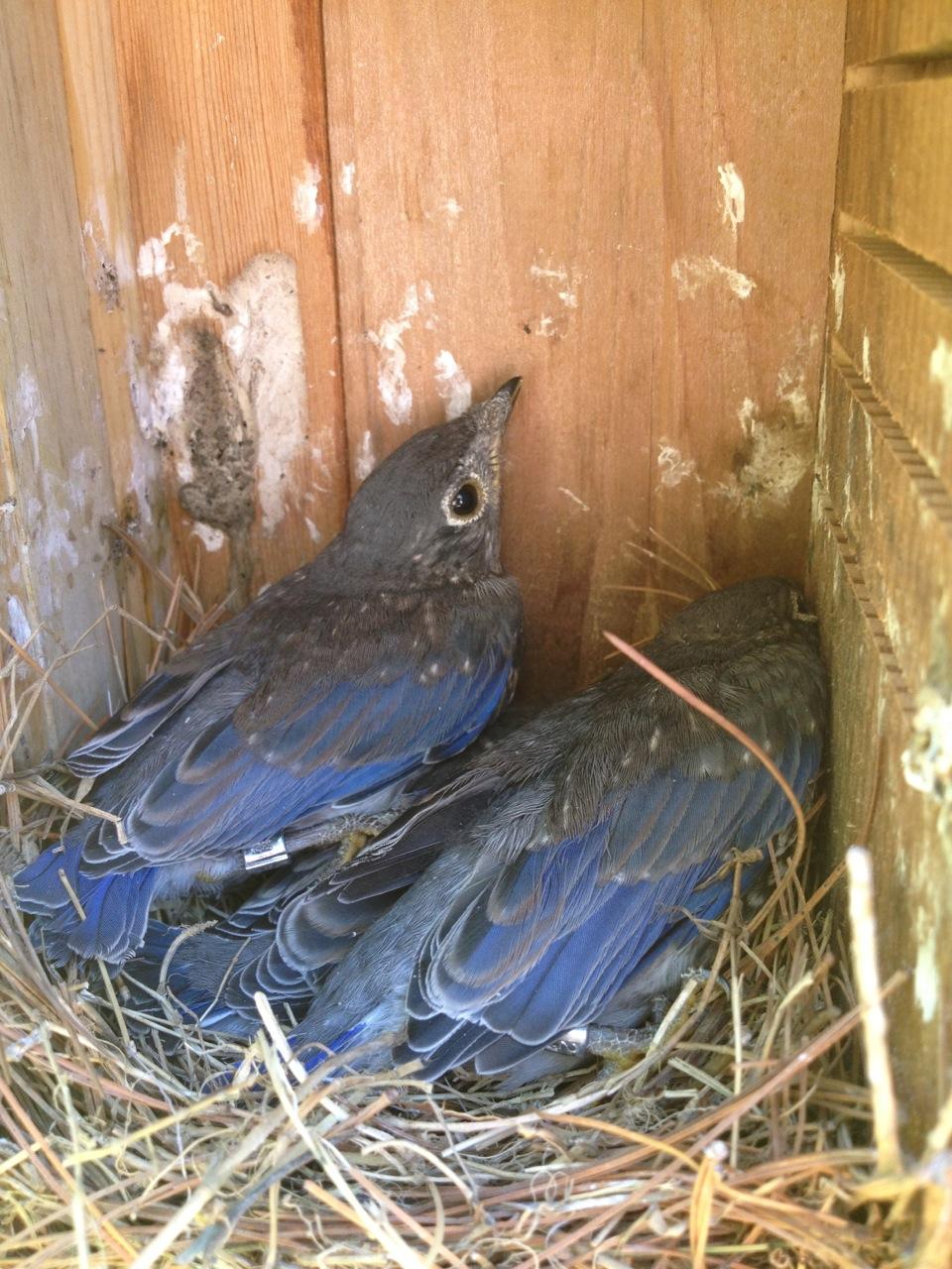 Bluebird Chicks.  Photo by Susan Butterworth