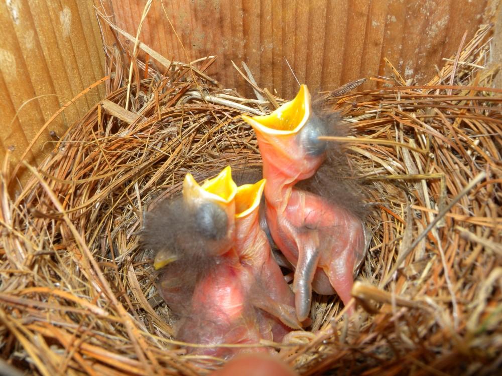 Bluebird Nestlings.  Photo by Blake Goll