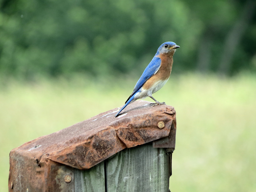 Eastern Bluebird.  Photo by Mike Rosengarten