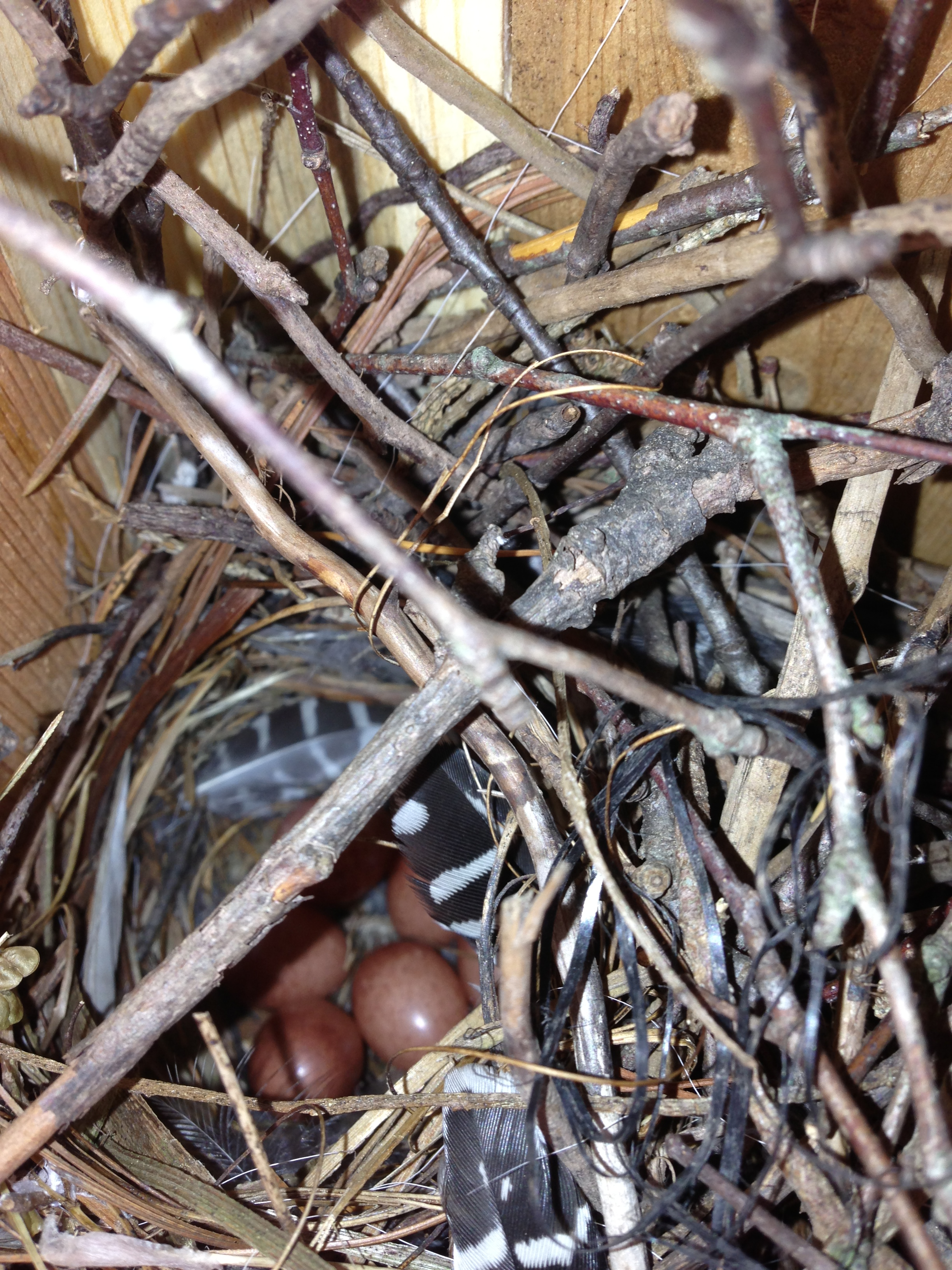 House wren nest and eggs.  A Downy woodpecker feather adds an enchanting touch to the nest decor.  Photo by Blake Goll