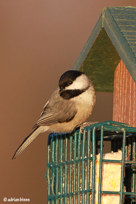 Carolina Chickadee. Photo by Adrian Binns