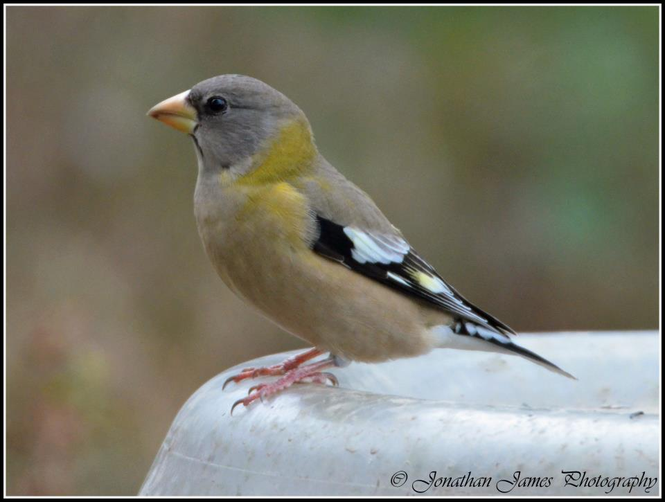 Evening Grosbeak.   Photo by Jon Mularczyk .