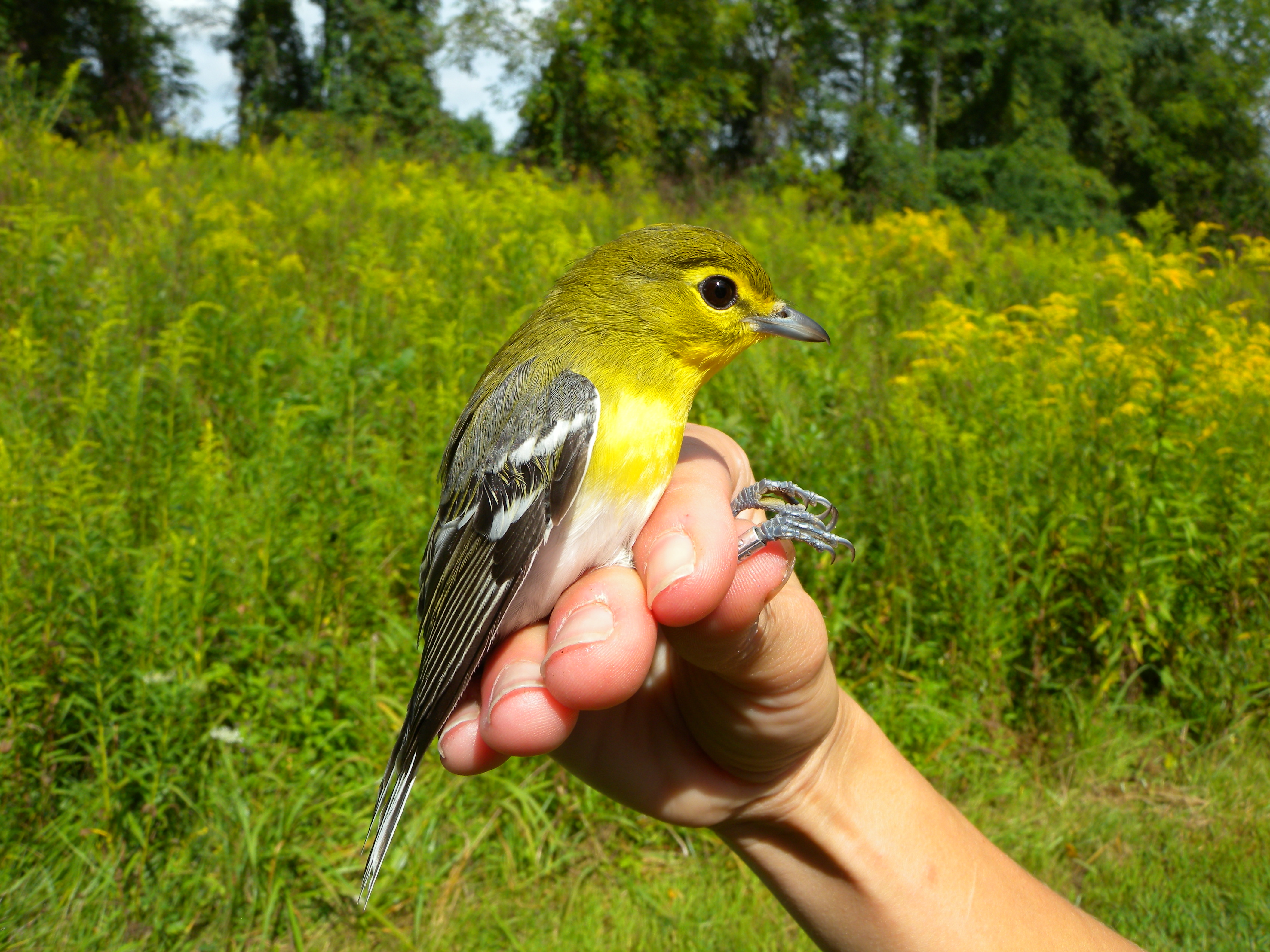 Yellow-throated Vireo banded at Rushton this September