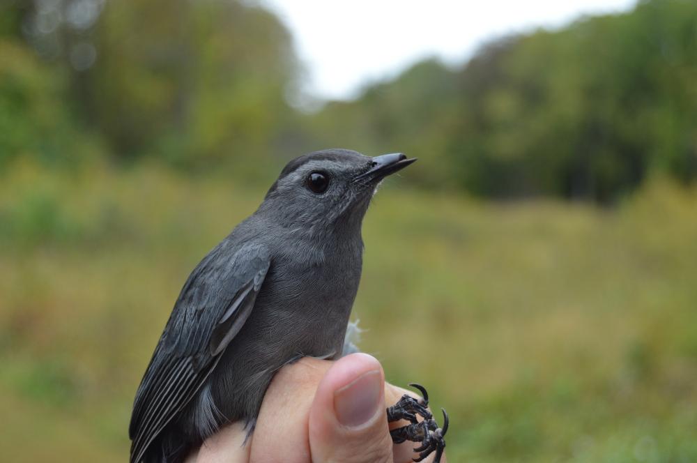 Bill deformity in Gray Catbird at Rushton in October