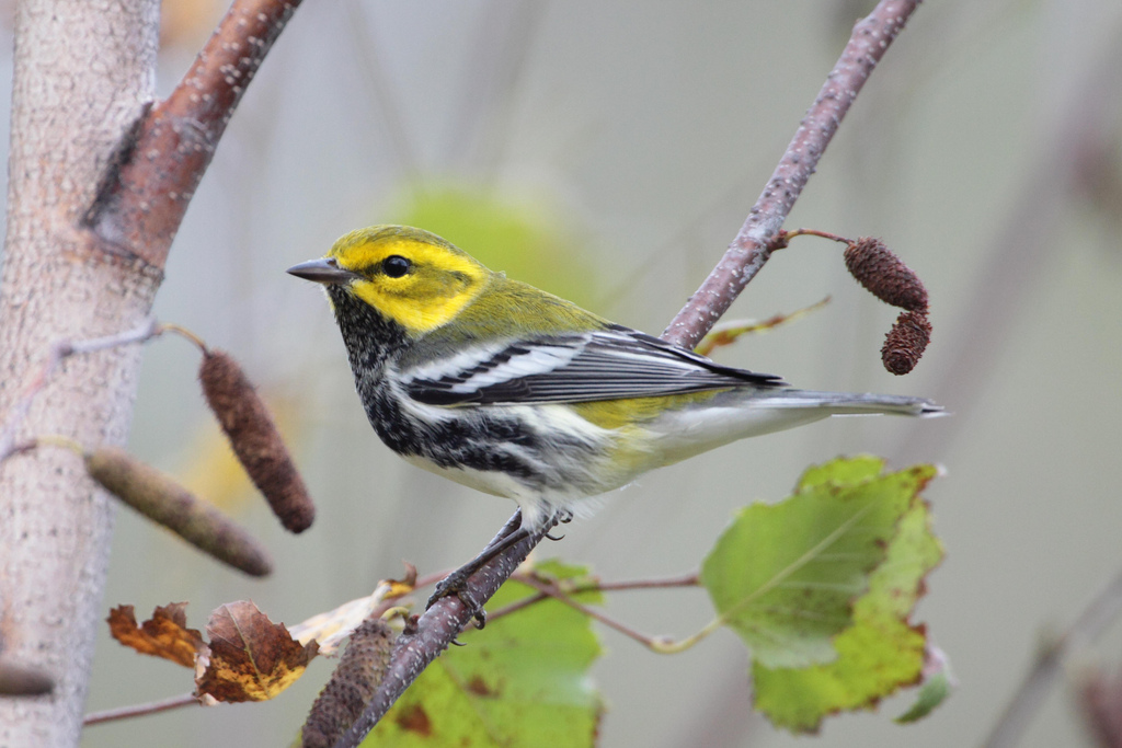 Black-throated Green warbler.  Photo by Dustin Welch.