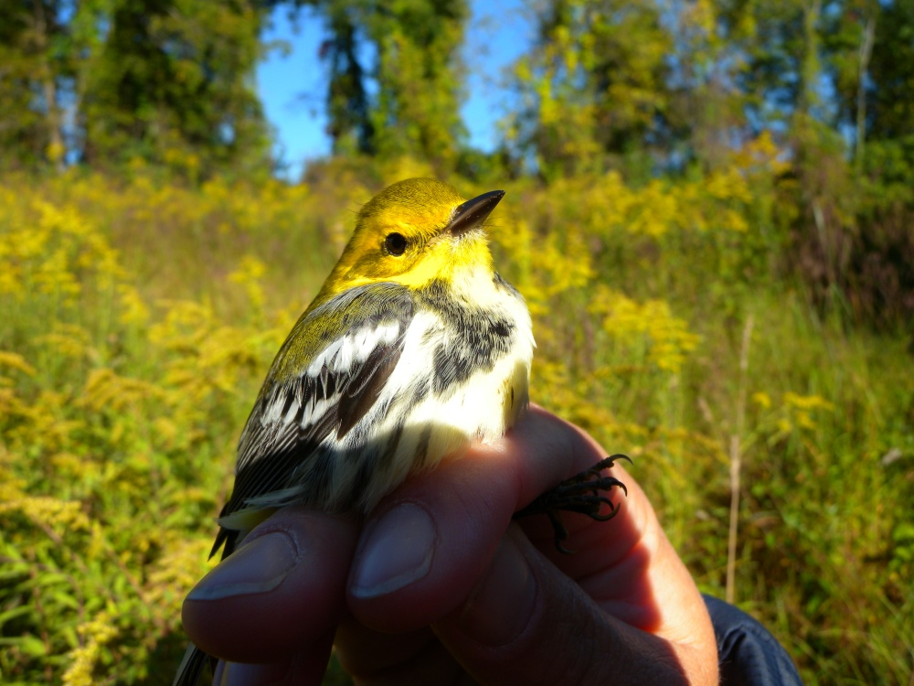 Young female Black-throated Green Warbler at Rushton in September for the Junior Birding Open House