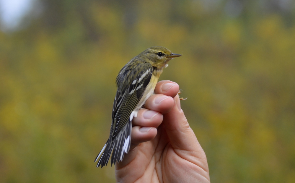 Blackpoll warbler.  Photo by Blake Goll.